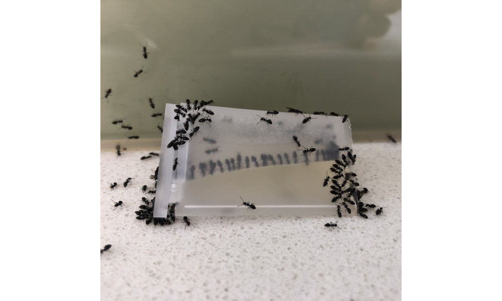 Black Ants Feeding from Antmaster in station