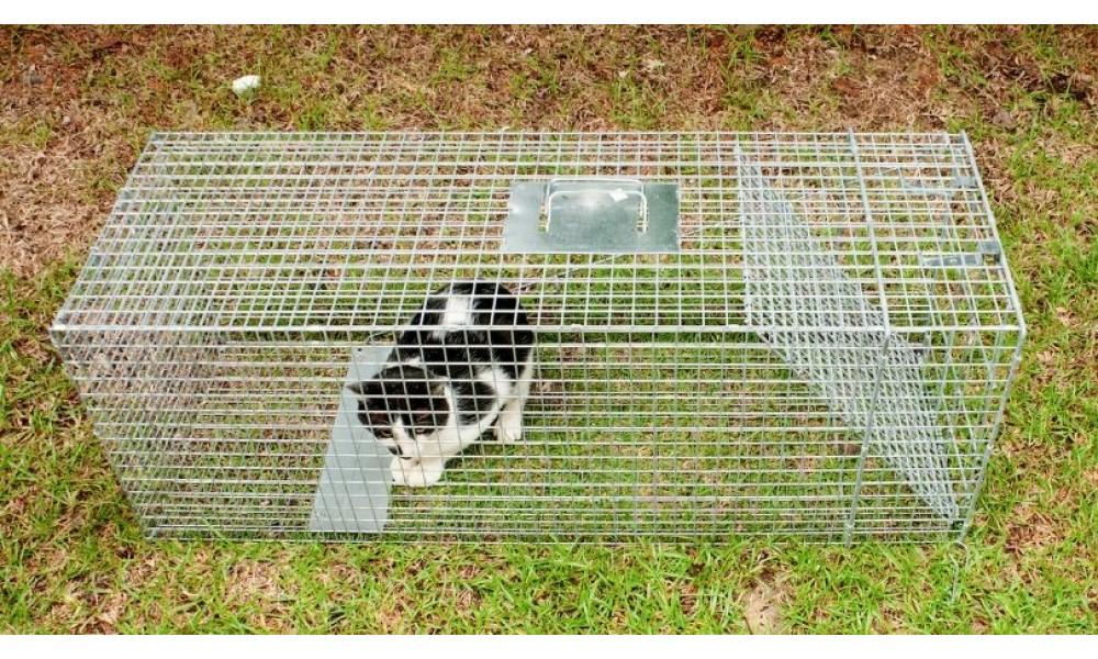 Cat in Feral Cat Trap