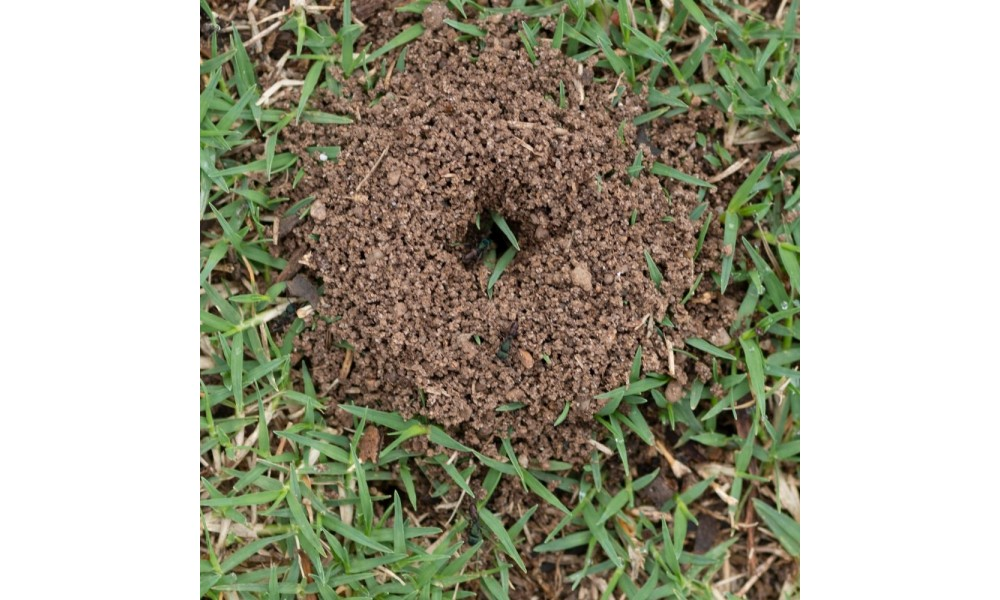 Funnel Ant Nest in turf
