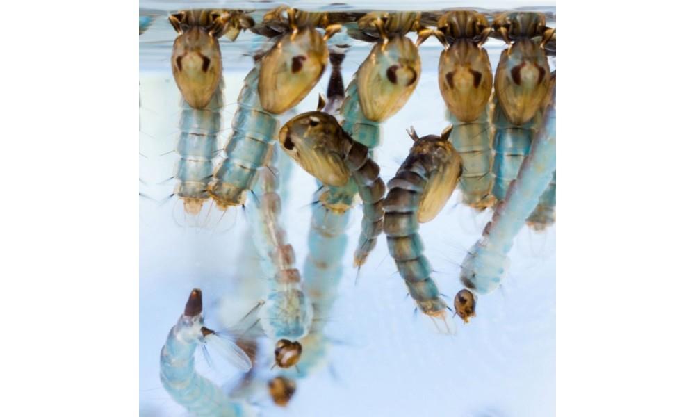 Mosquito Larvae Wrigglers