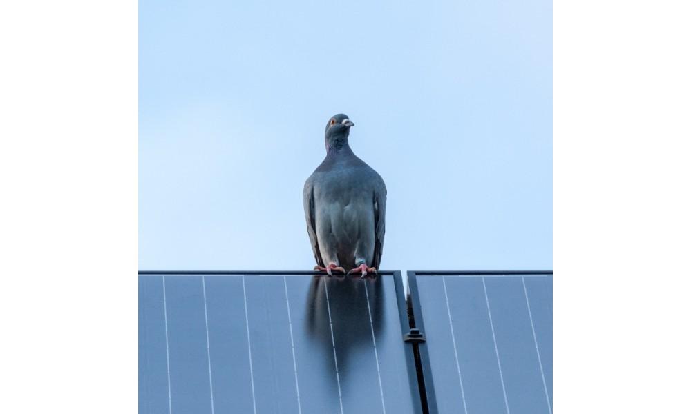 Pigeon on solar panel