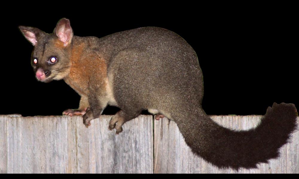 Possum on fence