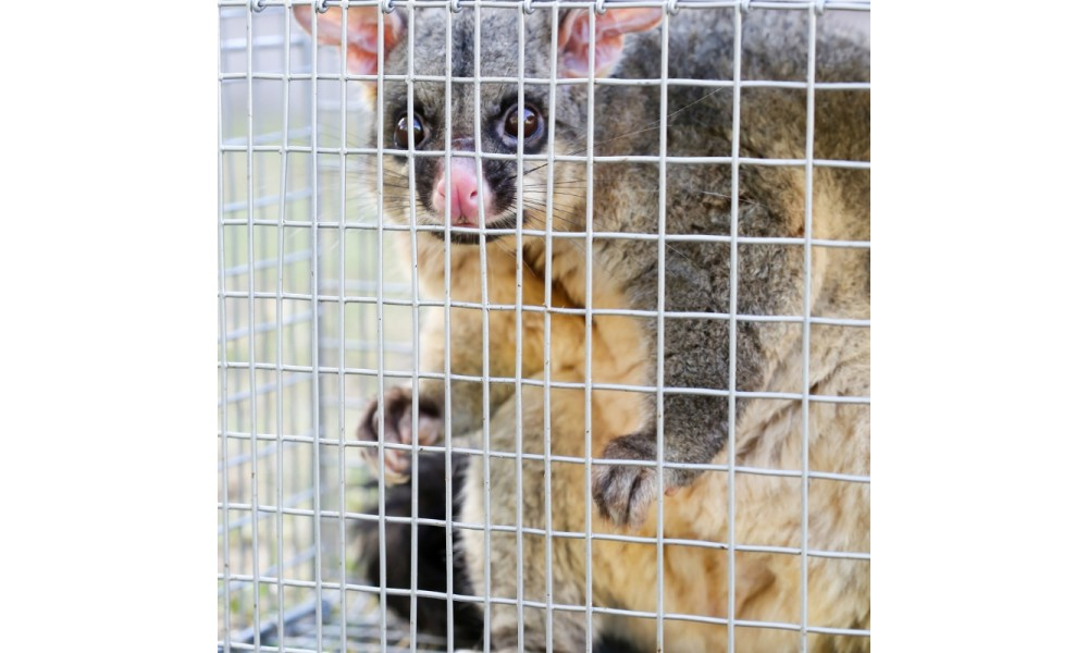 Possum Trapped