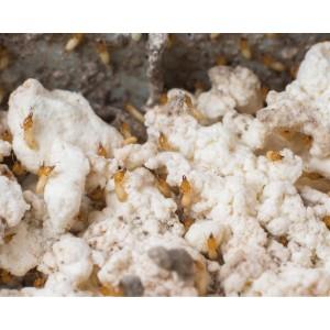 Nemesis Termite Bait Termites Eating Bait