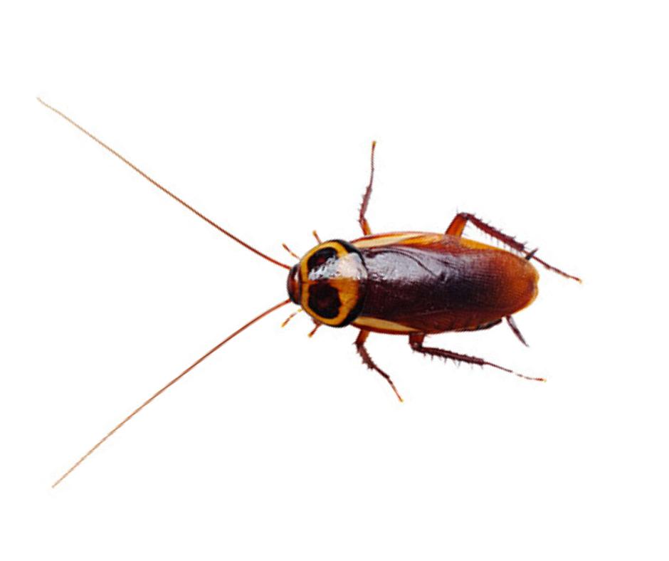 Australian Cockroach