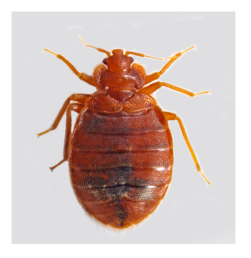 Adult Bed Bug
