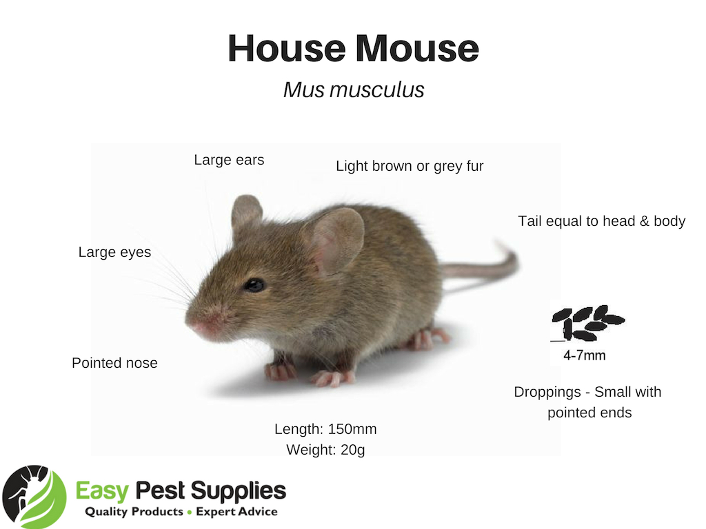 How to Get Rid Of Rats & Mice