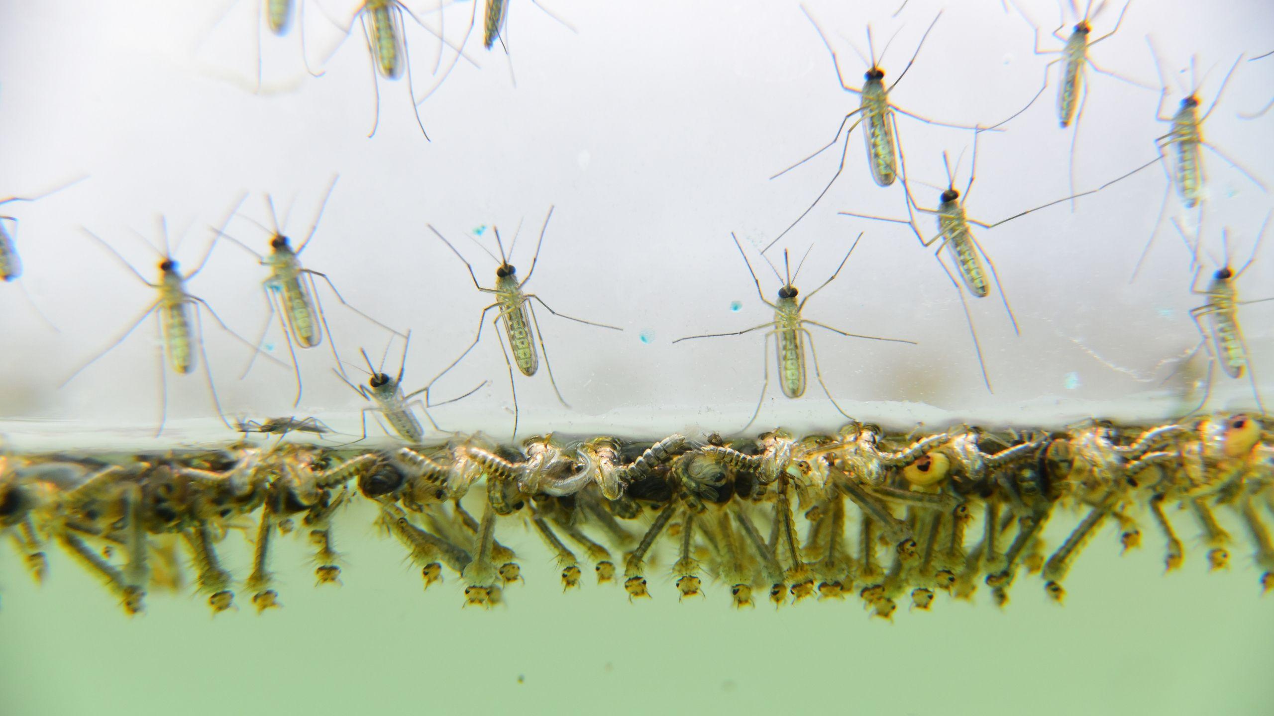 Mosquito Larvae Emerging