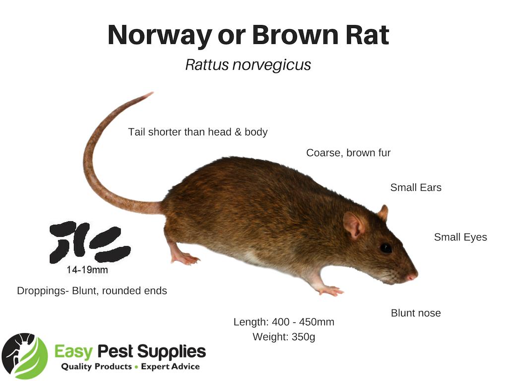Norway Rat Identification