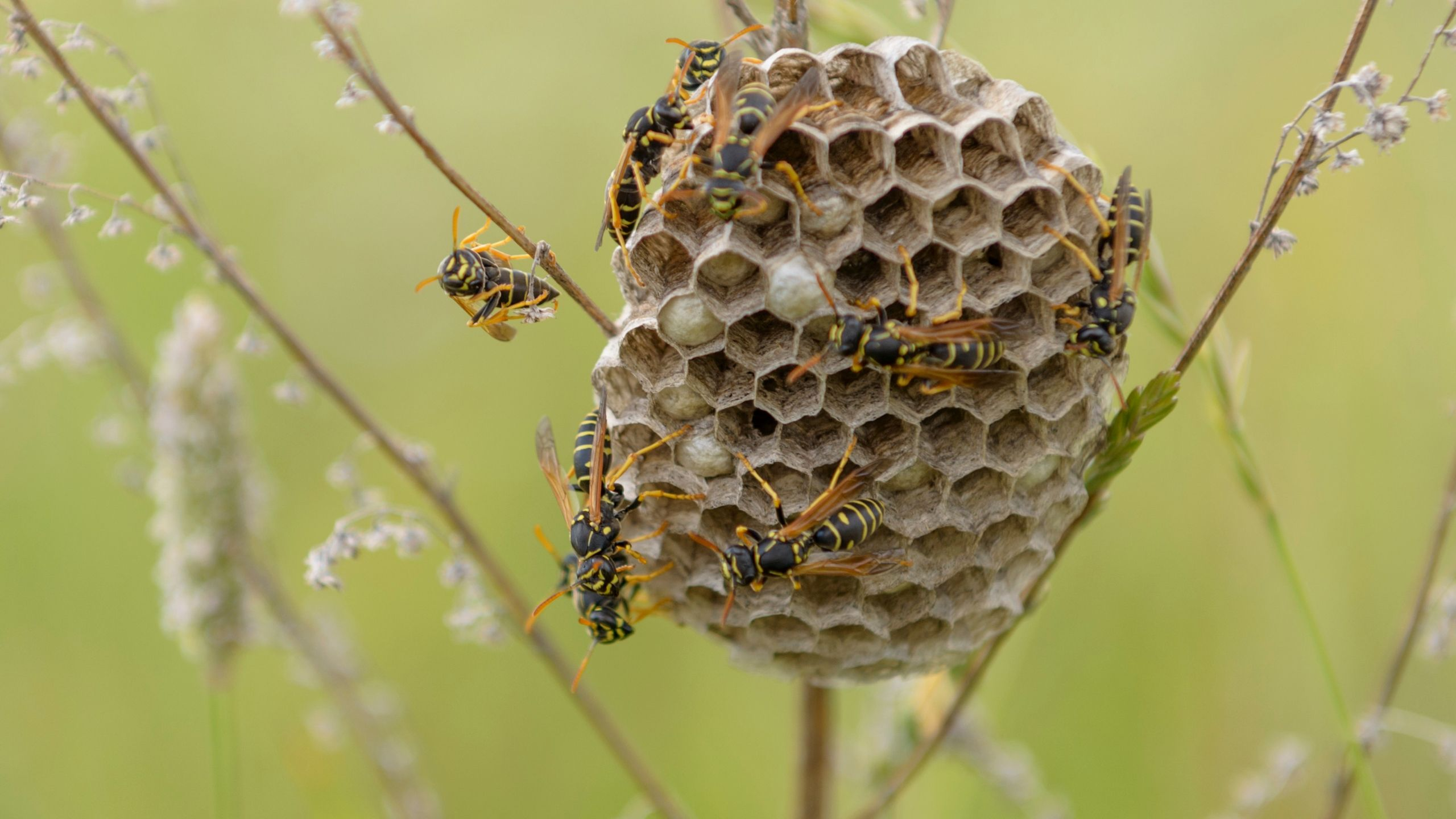 Papernest Wasp nest