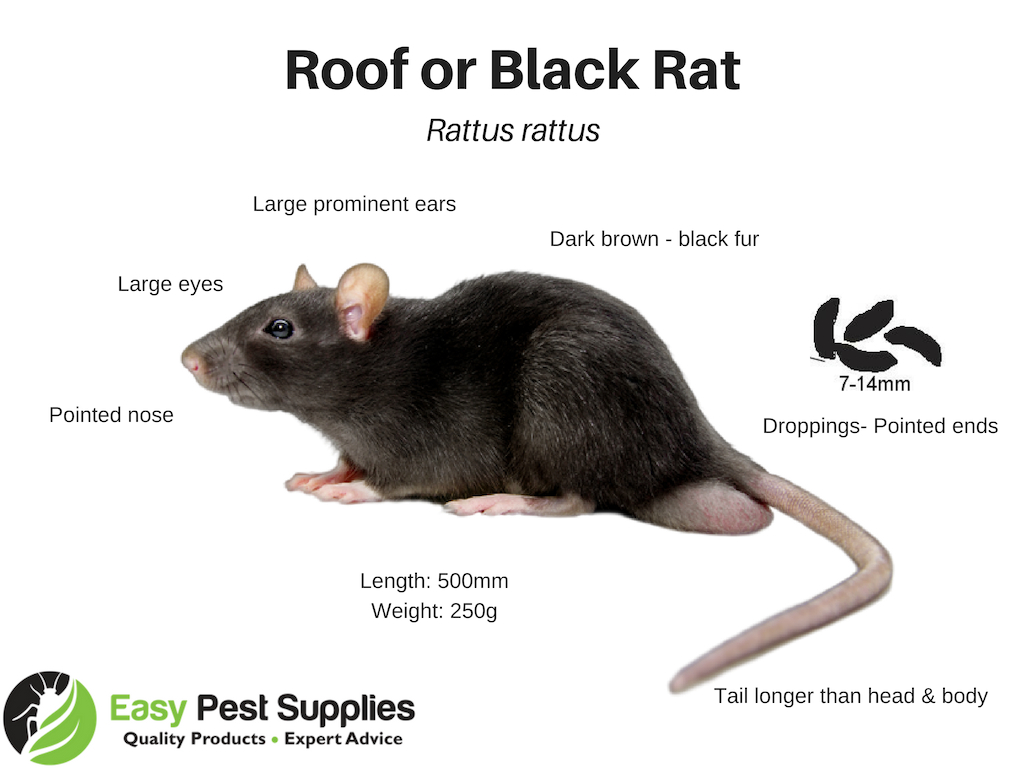 How To Get Rid Of Rats Amp Mice