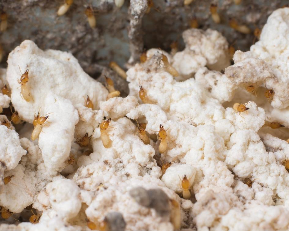 Termites Eating Nemesis Bait