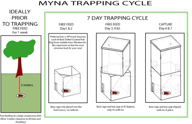 Myna Trapping Cycle